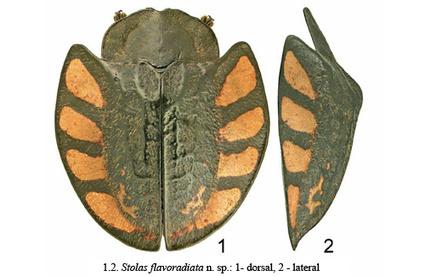 Fascinantes Cassides et découverte de deux nouvelles espèces ...   EntomoNews   Scoop.it