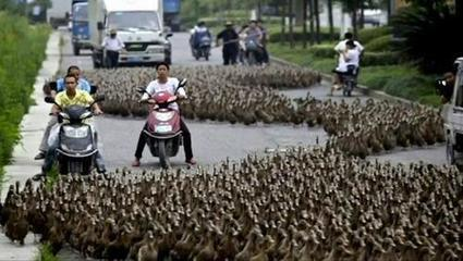 Duck Farmer & Herd Travel to Nearby Feeding Pond   Services   Scoop.it