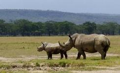 Minister of Environmental Affairs Speaks: Rhino Crisis, Legalize Horn Trade Debate | What's Happening to Africa's Rhino? | Scoop.it