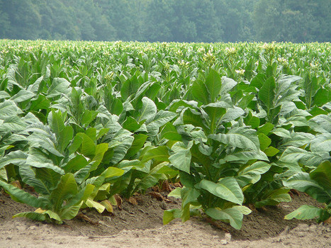 NC Congress Members: Don't Sequester Tobacco Buyout Money | North Carolina Agriculture | Scoop.it