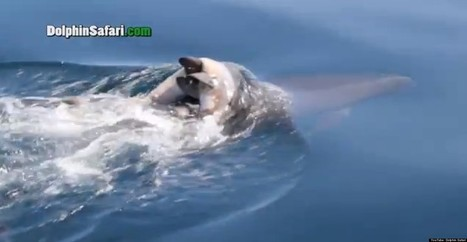 SAD: Grieving Dolphin Mom Carries Decaying Calf For Days | Animals R Us | Scoop.it
