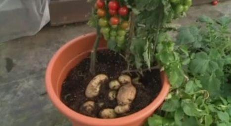 TomTato: la plante qui produit en même temps des tomates et des patates - RTBF Etcetera | Potager & Jardin | Scoop.it