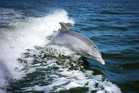 From Dolphins to Loons, Gulf Species Still Reeling From Deepwater Horizon Disaster | All about water, the oceans, environmental issues | Scoop.it