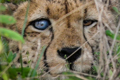 Blind, starving cheetahs: the new symbol of climate change? | Sustainable imagination | Scoop.it