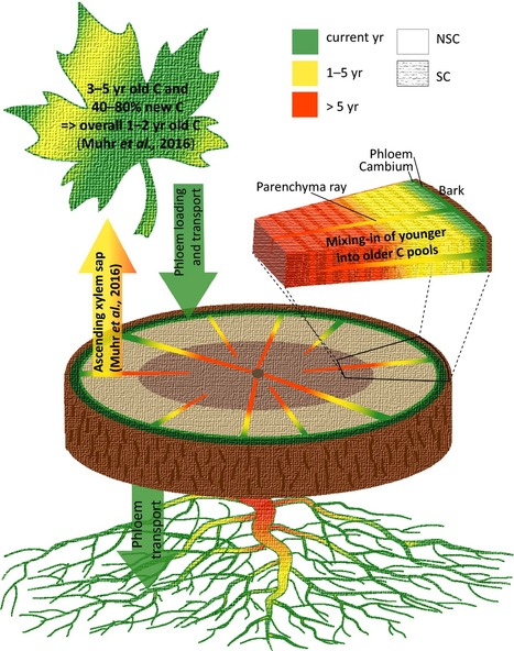 The fate and age of carbon – insights into the storage and remobilization dynamics in trees | MycorWeb Plant-Microbe Interactions | Scoop.it