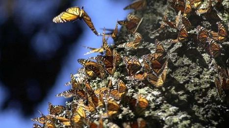 Mexico takes steps to protect monarch habitats threatened by illegal logging | Mexico Current News and Mexico Current Events, all the Latest News on Mexico Today | Year 11 Geography | Scoop.it
