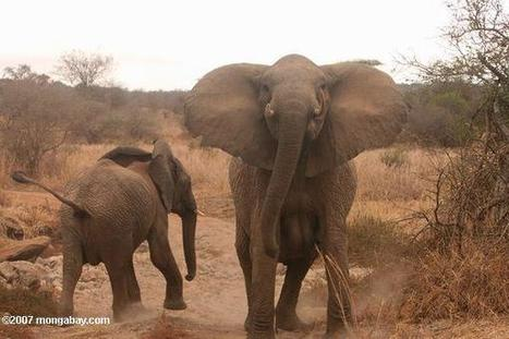 Poachers enlisting impoverished wildlife rangers as accomplices in elephant, rhino killing   Wildlife Trafficking: Who Does it? Allows it?   Scoop.it