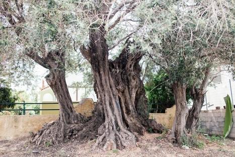 Η «Ελιά της Όρσας»: Ένα δέντρο 2500 ετών στη Σαλαμίνα | travelling 2 Greece | Scoop.it
