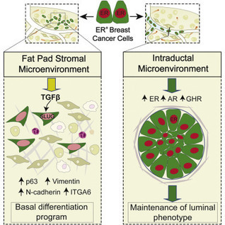 A Preclinical Model for ERα-Positive Breast Cancer Points to the Epithelial Microenvironment as Determinant of Luminal Phenotype and Hormone Response   Vectorology - GEG Tech top picks   Scoop.it