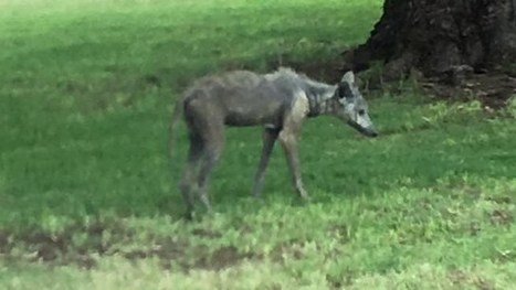 Did a chupacabra hit the links in Sun City? | Cryptic Content: Cryptozoology | Scoop.it