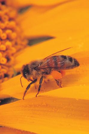 Un composé anesthésique naturel dans la morsure des abeilles   EntomoNews   Scoop.it