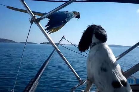 Macaw flies alongside water skiing boat in Greece   Greek island lifestyle   Scoop.it