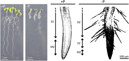 Root Architecture Responses: In Search of Phosphate | Plant Gravitropism | Scoop.it