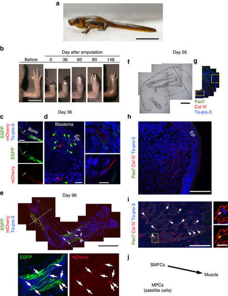 Nat Comm: A developmentally regulated switch from stem cells to dedifferentiation for limb muscle regeneration in newts | fundoshi TOPICS: Plant biology, cell biology, and more | Scoop.it