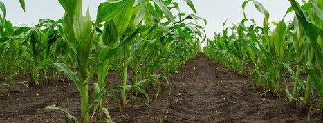 Demuestran la relevancia de dos genes en la absorción de nitrato en plantas | Agricultura y Ganaderia | Scoop.it
