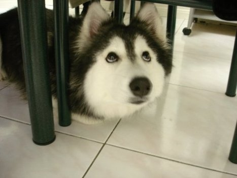 This Husky Raised By Cats Acts Like A Cat | Animal Rescue & Shelter Life | Scoop.it
