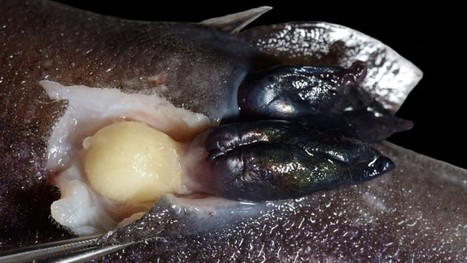The Barnacle That Eats Glowing Sharks – Phenomena: Not Exactly Rocket Science | Liv & Røre | Scoop.it