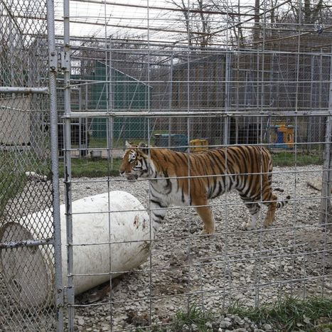 Tigers, lions, bears and wolves seized from Sinclairville animal sanctuary - Buffalo News | Carlos luna's CE - Zoology | Scoop.it