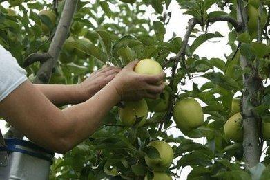 L'heure de la cueillette des pommes a sonné en Dordogne | Agriculture en Dordogne | Scoop.it
