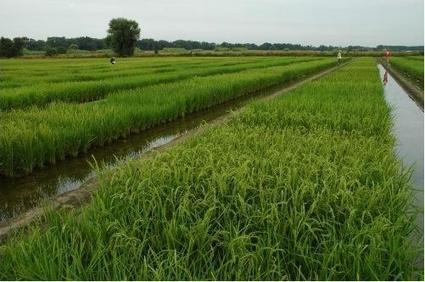 La filière riz tire  la sonnette d'alarme | Production végétale | Scoop.it