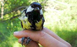 Chez les oiseaux, le stress lié à la pollution urbaine | Toxique, soyons vigilant ! | Scoop.it