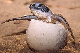 Hotter climate could turn sea turtles all female | Amazing Science | Scoop.it
