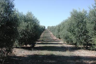 Un estudio científico señala que en España se da el peor escenario para el desarrollo de la Xylella | Wine & Olive Oil Strategy & Sustainability | Scoop.it