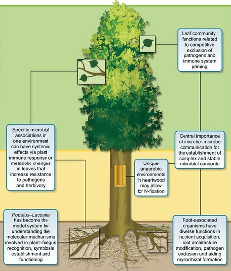New Phytologist: Towards a holistic understanding of the beneficial interactions across the Populus microbiome | My papers | Scoop.it