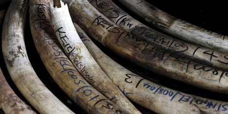 Can Biotech Companies Save The Rhinos?   Let's End Poaching   Scoop.it