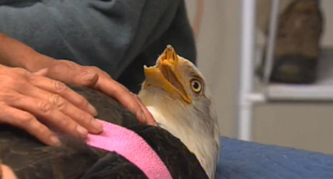 Défiguré par un braconnier, cet aigle retrouve l'usage de son bec grâce à l'imprimerie 3D | Imprimante 3D : ils l'ont fait ! | Scoop.it