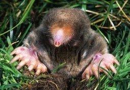 Mole Control - Effective Wildlife Solutions   Info Junkie   Scoop.it