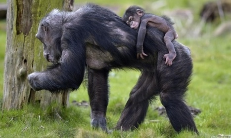 Chimpanzees granted 'legal persons' status to defend their rights in court   Society and behaviour   Scoop.it