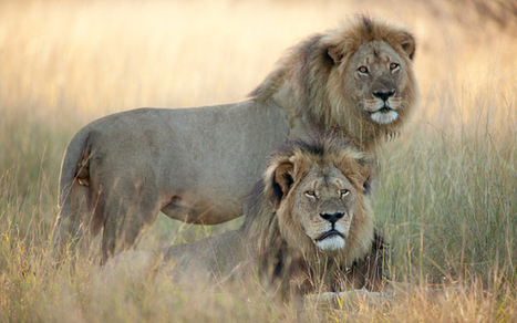 Zimbabwean hunter and farmer bailed over killing of Cecil the lion | Nature Animals humankind | Scoop.it