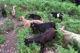 Prevenir incendios forestales con cabras y vacas, una idea 'muy eficaz' | andalucía | Scoop.it
