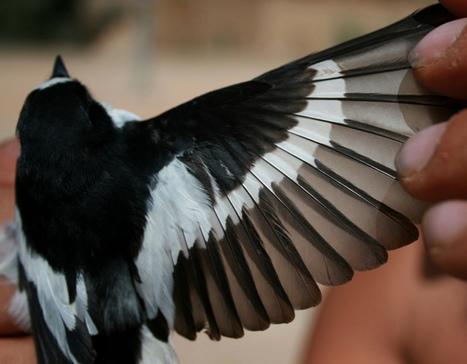 Atlas Flycatcher photo   Bird ID   Scoop.it