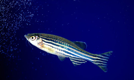 How the diminutive Zebrafish is having a big impact on medical research | Wellcome Trust in the news | Scoop.it