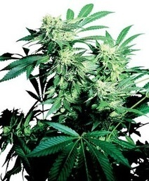 Where to find Cannabis Seeds? | Cannabis Seeds | Scoop.it