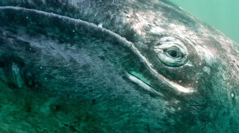 Grey whale, Mexico by Eric Cline on Flickr | Baja California | Scoop.it