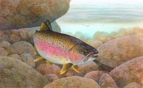 Genetic Researchers Sequence Genome of Rainbow Trout | Conservation Biology, Genetics and Ecology | Scoop.it