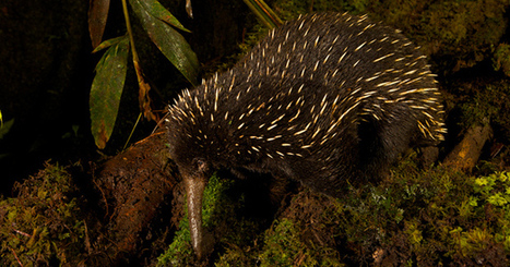 Extinct echidna may be alive and well in Australia | Quite Interesting News | Scoop.it