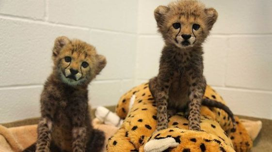 Labrador puppy brought to Dallas Zoo to calm cheetah cubs