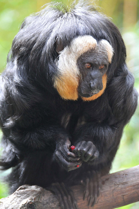 Scientists uncover five new species of 'toupee' monkeys in the Amazon | Paneco Press: Species Watch | Scoop.it