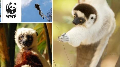 Sauvons les derniers lémuriens | Madagascar sur le web | Scoop.it