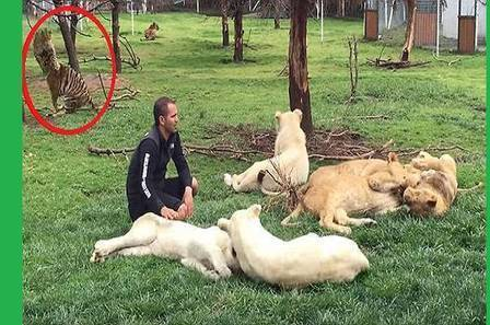 Watch: Heroic Tiger Saves Zoo Owner From A Sneaky Leopard's Attack! » StoryDecker | Online News | Scoop.it
