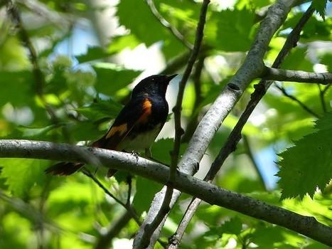 Photo d'oiseau : Paruline flamboyante - Setophaga ruticilla - American Redstart   Fauna Free Pics - Public Domain - Photos gratuites d'animaux   Scoop.it