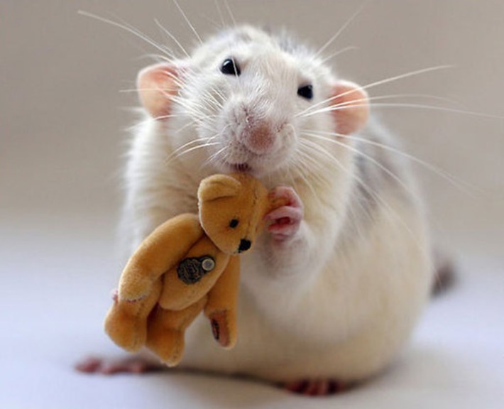 Two Women Take Adorable Pictures of Rats With Teddy Bears | Walking On Sunshine | Scoop.it