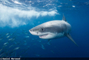 California Moves to Add Sharks to Endangered Species List | Earth Citizens Perspective | Scoop.it