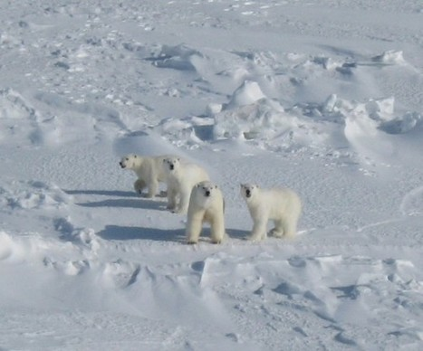 Study Finds Condition of Polar Bears in Arctic's Chukchi Sea Stable Despite Sea Ice Loss | Amocean OceanScoops | Scoop.it
