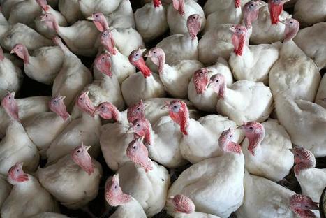 Bird flu hits U.S. turkeys, H7N9 spreads in China | Avian influenza virus A(H7N9) | Scoop.it