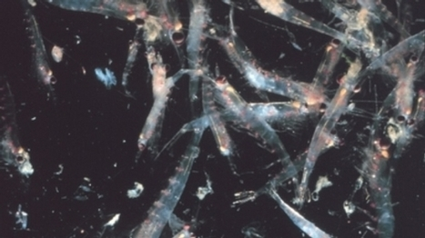 #Krill Are Disappearing from #Antarctic Waters #food chain #ecosystem #climate | Messenger for mother Earth | Scoop.it